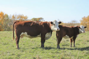 Cow Herd 1