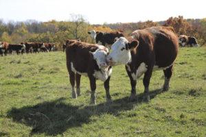 Cow Herd 5