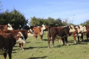 Cow Herd 6