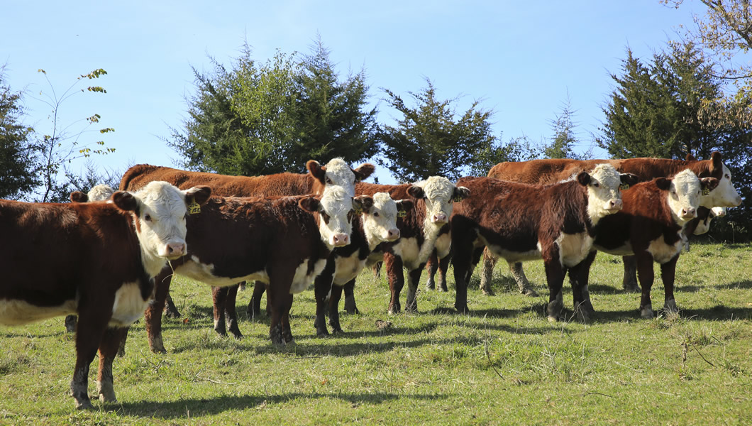MJM Polled Herefords - Hereford Cows For Sale - Minnesota, Midwest, Marty, Julie, Malin