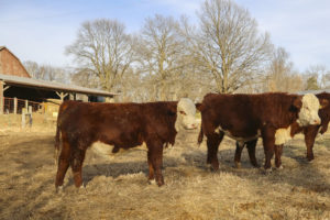Yearling Bull For Sale (76)