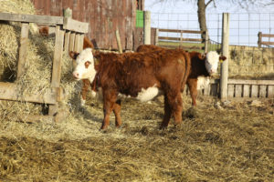 Yearling Heifer For Sale (72)